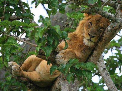 Ağaç dalında aslan