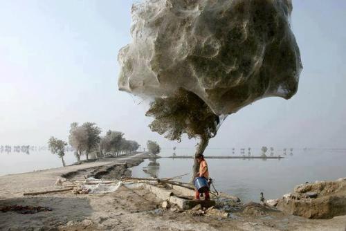 Sel felaketinden sonra örümcekler ağaca tırmandı. Pakistan-Sindh.